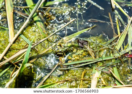 green marsh frog in the mud, near the surface of the lake.  #1706566903