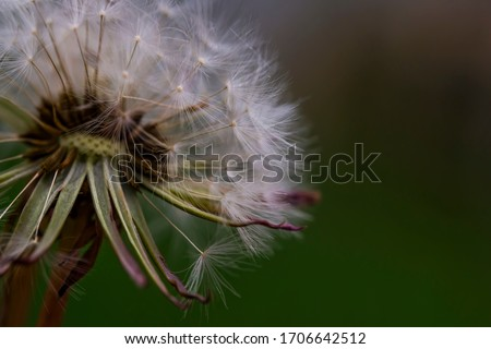 Dandelion. Macro photo. Ripe dandelion seeds. White aerial dandelion umbrellas. Dandelion seeds scattered.