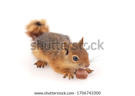 Squirrel shoot in studio on white background