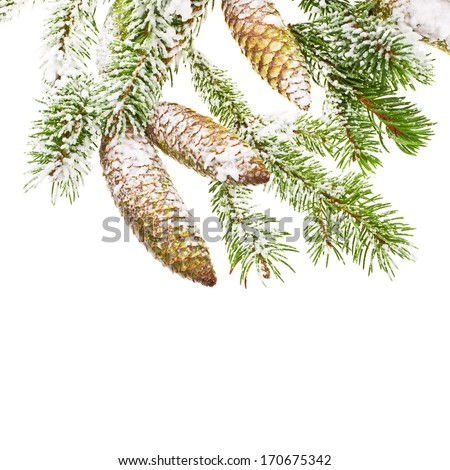 fir branches and cones powder with snow isolated on white background #170675342