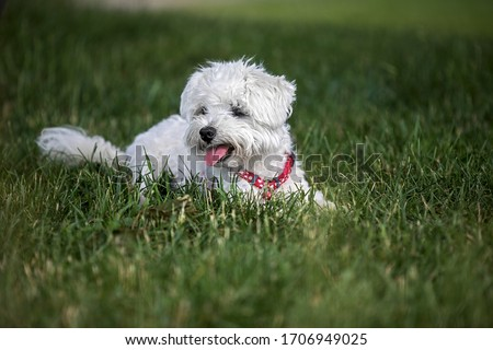 cute little maltese dog resting in the garden