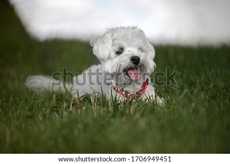 white dog, breed maltese, resting in the grass