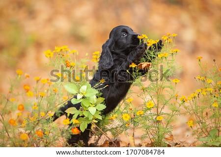 A black english cocker spaniel puppy Royalty-Free Stock Photo #1707084784