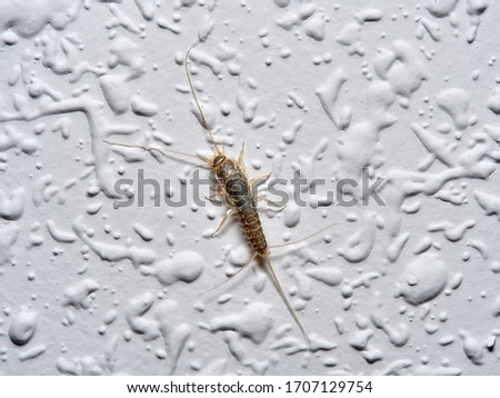 silverfish on a wall of a house. Ctenolepisma longicaudata