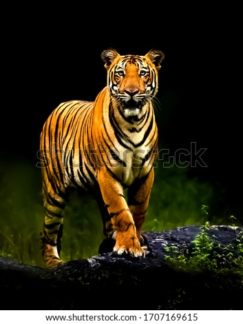 Beautiful picture of Young tiger standing on the black stone