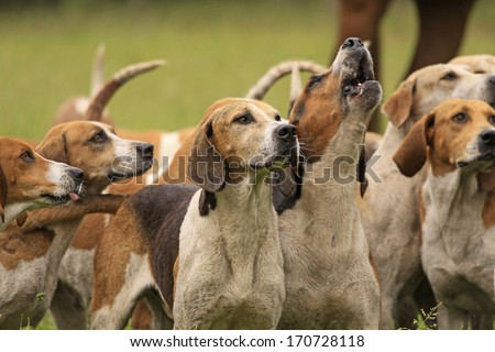 Foxhounds Royalty-Free Stock Photo #170728118