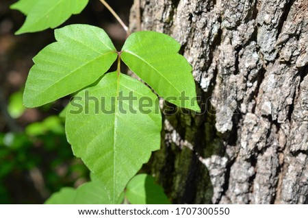 Poison ivy is a climbing plant frequently seen attached to trees. It is identified with three leaves and causes allergic reactions. Green leaves pictured against tree bark for easy identification. #1707300550