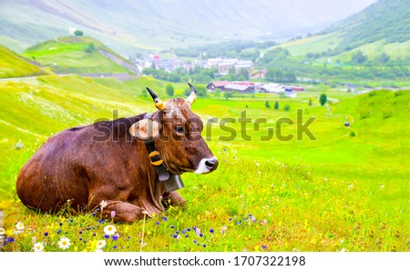 Cow lying on pasture grass #1707322198