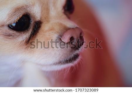 Chihuahua Portrait- Sweet little Bella is an apple head tea cup Chihuahua who will melt your heart with just one look.