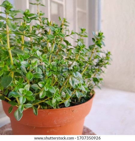 Lemon thyme: a species of Thymes, also known as Common thyme, French, Organic and German thyme, it's botanical name is Thymus vulgaris. #1707350926