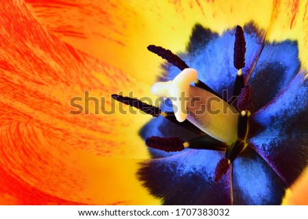 The inside of a tulip flower. Tulip pistil surrounded by stamens with pollen grains. Close up macro photography in high resolution.