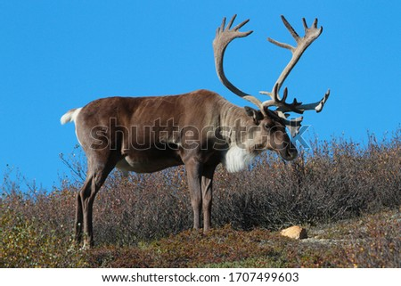 Caribou with Antlers on Tundra in Alaska with Blue Sky #1707499603