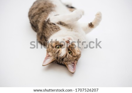 Tabby cat on a white background.An adult cat is lying on its back. The cat is played lying on its back. Portrait of a domestic cat #1707526207