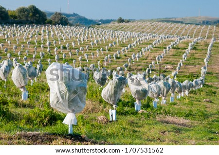 Young orange trees covered with an anti hail protection Royalty-Free Stock Photo #1707531562
