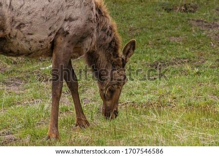 Yellowstone National Park Female Elk