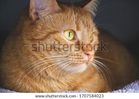 Portrait of red cat with green - brown eyes. Domestic animals. Family young cat. Close up picture of cat eyes and whiskers. Home staying cat looking around.