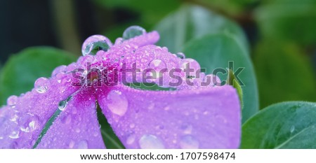 Dew Drops. The atmosphere in the morning the air feels fresh with warm morning sunlight that looks sparkling morning dew dew on flowers and green grass in the tropical rice fields. Macro photography. #1707598474