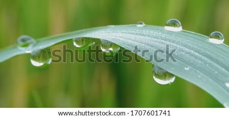 Dew Drops. The atmosphere in the morning the air feels fresh with warm morning sunlight that looks sparkling morning dew dew on flowers and green grass in the tropical rice fields. Macro photography. #1707601741