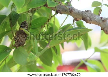 Praying mantis eating insect on tree.Mantis religiosa, action scene #1707702670