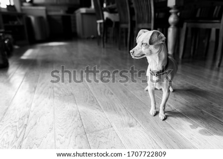 Black and white picture of a Chihuahua standing in a dining room.