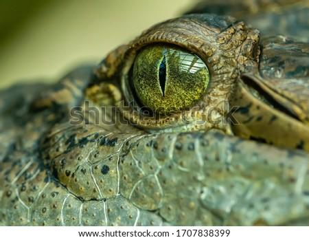 detail on eye of a crocodile, animal zoo Royalty-Free Stock Photo #1707838399