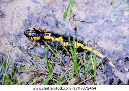 Fire spotted salamander in the water in mountains. Close up of black and yellow Salamander in nature. Salamandra salamandra.