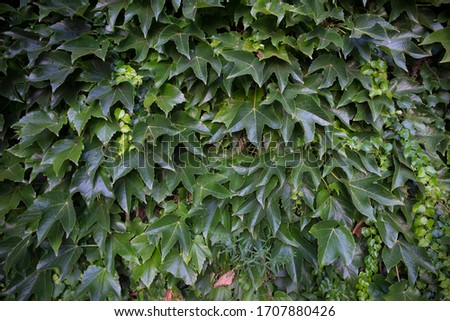 Wall overgrown with green leafs  #1707880426