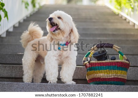 dog standing looking on Stairs, dog standing on Backdrop of stairs, relax pet, poodle terrier standing looking, smile poodle dog, the dog picnics, animal funny