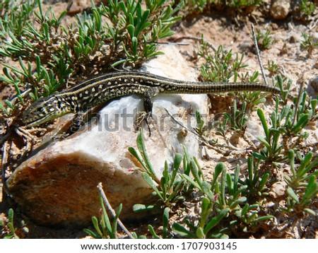 Nimble lizard, or agile lizard, or common lizard (Latin Lacerta agilis), female. A lizard from the family of true lizards. #1707903145