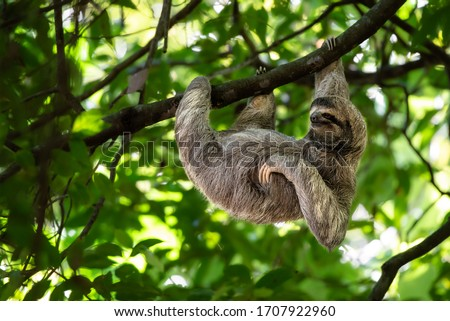 Wild sloth hanging on tree with funny face and relaxed look, perfect portrait of chilled animal in the Rainforest of Costa Rica scratching the belly, Bradypus variegatus, brown-throated sloth #1707922960