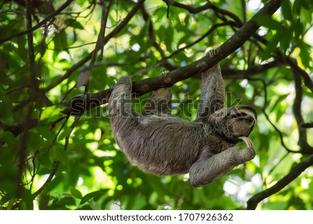 Wild sloth hanging on tree with funny face and relaxed look, perfect portrait of chilled animal in the Rainforest of Costa Rica scratching the chin, Bradypus variegatus, brown-throated sloth