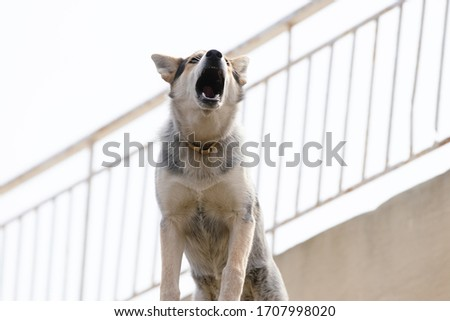 Close up picture of guard dog standing on the roof of a house background, Watchdog concept #1707998020