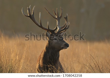 Red deer in autumn colours Royalty-Free Stock Photo #1708042258