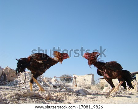 Fighting Roosters   Cockfight   angry bird   angry animal   Madurai Fighting Roosters