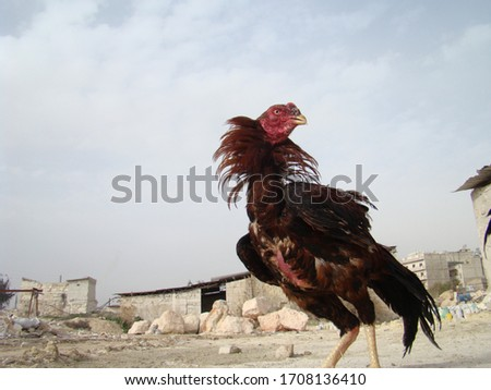 Fighting Rooster | Cockfight | angry bird | angry animal | Madurai Fighting Rooster