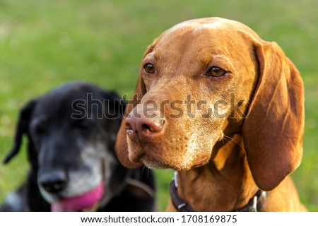 The head of the Hungarian hound female. Hungarian dog Vizsla on meadow. Pet. Dog's eyes. #1708169875