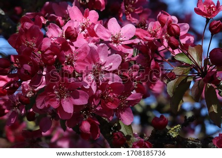 Close up of dark pink spring blossom in the sunshine #1708185736