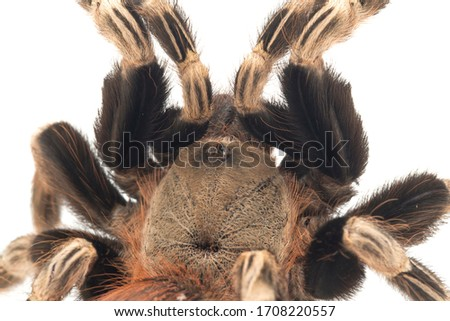The Brazilian red and white tarantula (Nhandu chromatus) is a tarantula species that is native to Brazil. isolated on white background