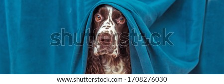 The dog is hiding behind the curtains and is afraid to go out. Pets mental health, excessive emotionality, feelings of insecurity. Banner size. #1708276030