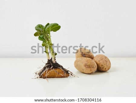 potato sprouts. Roots with planting soil. Some potatoes in the picture. White background