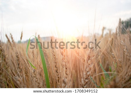 Wheat field with Breed. Ears of golden wheat. Bright Outdoor Sunrise. Harvest ripe wheat crop with beautiful sun rays closed up #1708349152