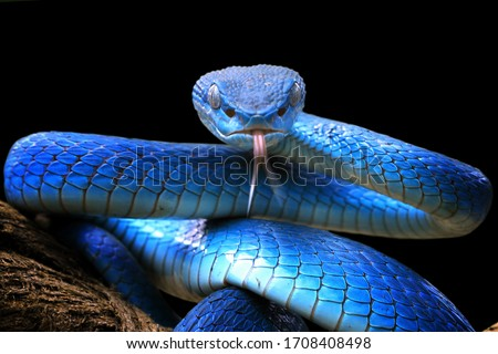 Blue viper snake closeup face, head of viper snake, Blue insularis, Trimeresurus Insularis, animal closeup Royalty-Free Stock Photo #1708408498