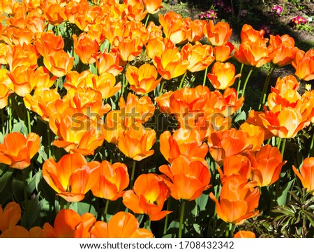 Spring background with beautiful orange tulips #1708432342