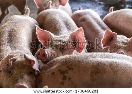 pig pork farm rural grange #1708460281
