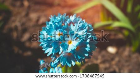 Perennial primrose or primula in the spring garden. Spring primroses flowers, primula polyanthus. Blue primroses in spring woods. Primroses in spring. The beautiful colors primrose flowers garden #1708487545