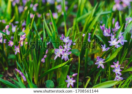 many purple Chionodoxa flowers in spring among grass in a park #1708561144