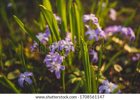 many purple Chionodoxa flowers in spring among grass in a park #1708561147