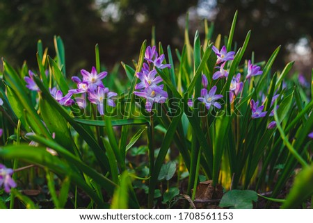 many purple Chionodoxa flowers in spring among grass in a park #1708561153