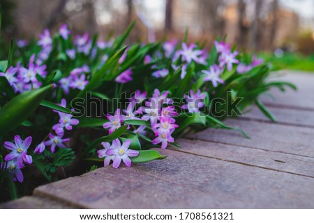 many purple Chionodoxa flowers in spring among grass in a park #1708561321