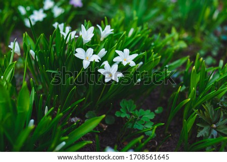 many white Chionodoxa flowers in spring among grass in a park #1708561645